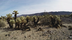 Pan Of Cholla Cactus Grove- Joshua Tree National Park Stock Footage