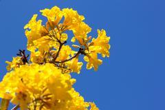Yellow tabebuia flower - stock photo