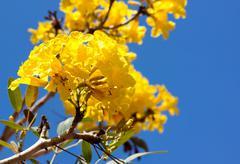 Yellow tabebuia flower tree - stock photo