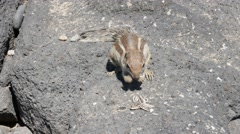 Squirrel feeding Fuerteventura Spain Stock Footage