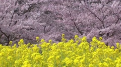 Rapeseed field and cherry blossoms Stock Footage