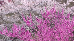 Cherry blossoms in full bloom Stock Footage