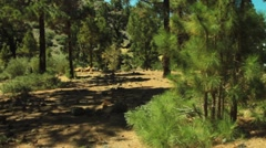 Canary Island pine meadow Stock Footage
