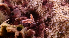 fire worm - Hermodice carunculata Fuerteventura Spain - stock footage