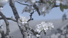 Bees and flowering tree Stock Footage