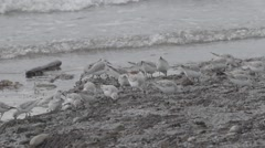 Seabirds foraging on seashore - slow-motion Stock Footage