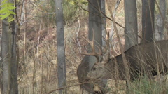 Mule Deer Buck Courts Doe in Thick Trees Stock Footage