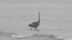 Great blue heron stalking prey - slow motion Stock Footage