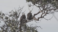 Eagle pair slow-motion Stock Footage