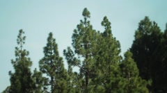 Canary pines tops swaying in the wind Stock Footage