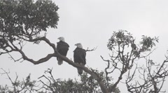 Pair of eagles, one flying away - slow motion Stock Footage