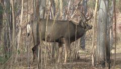 Mule Deer Buck  in Rut Performs Flehmen Response Stock Footage