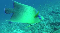 Semicircle angelfish (Pomacanthus semicirculatus) swimming underwater over coral Stock Footage