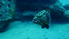 grouper Fuerteventura Spain - stock footage