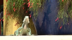 Curacao Willemstad 002 an iguana on public square next to flowering pot plant Stock Footage