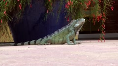 Curacao Willemstad 003 a lizard on public square next to flowering pot plant Stock Footage