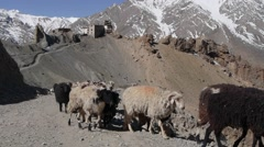 Sheeps going out of village,Dankhar,Spiti,India Stock Footage