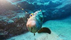 Stock Video Footage of grouper  close with flare Fuerteventura Spain