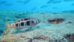 juvenile grouper with nice background Fuerteventura Spain - stock footage