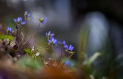 Springtime liverworts in close up - stock photo