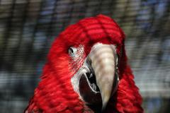 Scarlet Macaw In Aviary - stock photo