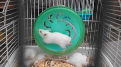 The mice were caged sold as pets Stock Footage