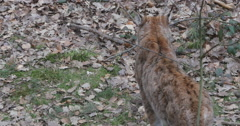 Lynx walking around in leafs in the forest - stock footage