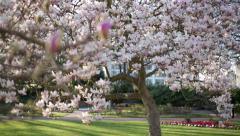 Magnolia tree tilt Stock Footage
