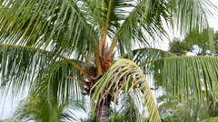 4K Ultra HD video of a coconut tree swaying on a windy day - stock footage