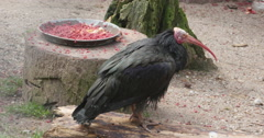 A Northern Bald Ibis standing beside a food bowl Stock Footage