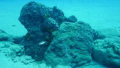 Grouper Fuerteventura Spain Stock Footage