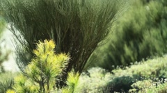 Bush on Canary pines forest Stock Footage