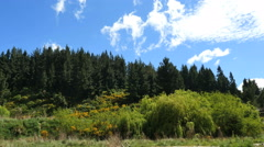 New Zealand dark green trees above light green foliage and scotch broom Stock Footage