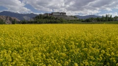 Monastary with yellow flowers,Phyang,Ladakh,India Stock Footage
