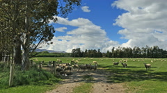 New Zealand Catlins sheep on shadowy path Stock Footage