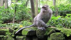 Video 1920x1080  Monkey at sacred monkey forest. Ubud, Bali, Indonesia Stock Footage