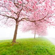 Sakura flowers in the early misty morning - stock photo