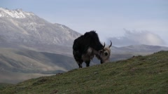 A Yak is grazing,Tagong,China, Peoples Rep - stock footage