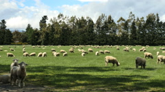 New Zealand sheep stare at camera and others graze Stock Footage