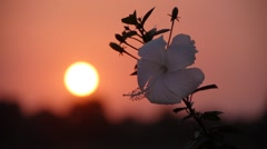Sunset with flower,Lumbini,Nepal Stock Footage