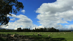 New Zealand Catlins sheep on moving shadows with tall clouds Stock Footage