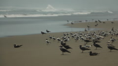 Birds on Beach at Ocean Shore in South America Stock Footage
