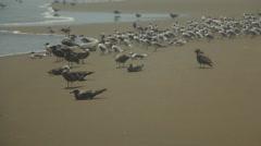 Birds Congregate on Beach at Ocean Seashore Stock Footage