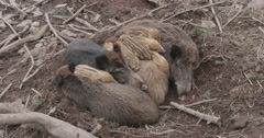 Wild boars, pigs sleeping in a pile Stock Footage