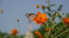 Orange flowers and butterflies,Lumbini,Nepal Stock Footage