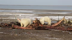 Polar bears eating whale carcass Stock Footage
