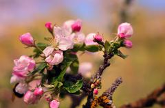 Beautiful flowering Ukrainian cherry. Background with flowers on a spring day - stock photo