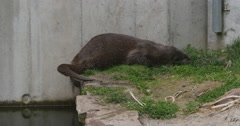 Otter rolling around in grass Stock Footage