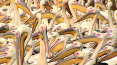 Group of Great White Pelican (Pelecanus onocrotalus) Stock Footage