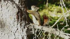 Alaskan Red Squirrel Stock Footage